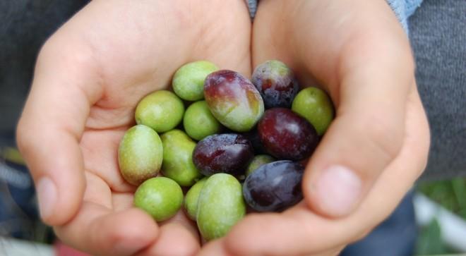 Diario della raccolta delle olive 2015, parte prima
